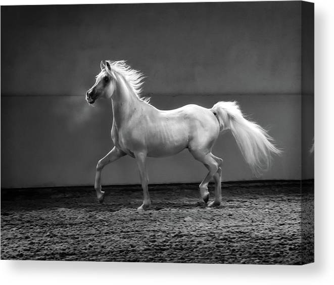 Horse Canvas Print featuring the photograph Proud Arabian Horse - Stallion In by Kerrick