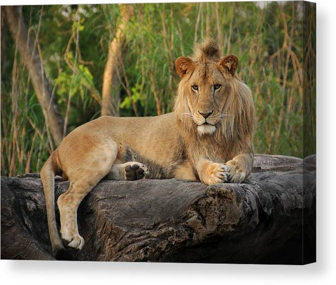 Lion Canvas Print featuring the photograph Classic Young Male by Steven Sparks