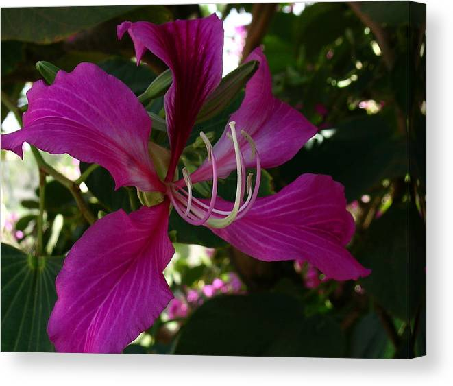 Hong Kong Orchid Tree Canvas Print featuring the photograph Lure of the Tropics by James Temple
