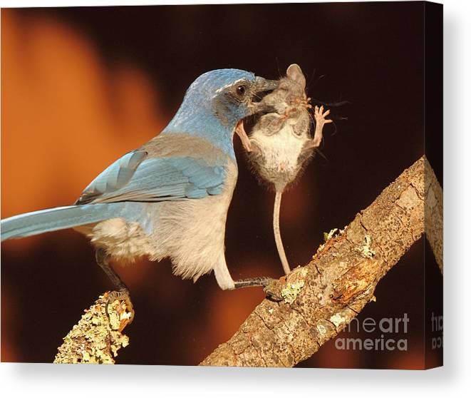 Autumn Canvas Print featuring the photograph Scrub Jay With Jumping Mouse In Grasp by Max Allen