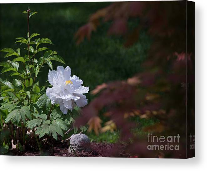 White Canvas Print featuring the photograph White Peony by David Bearden