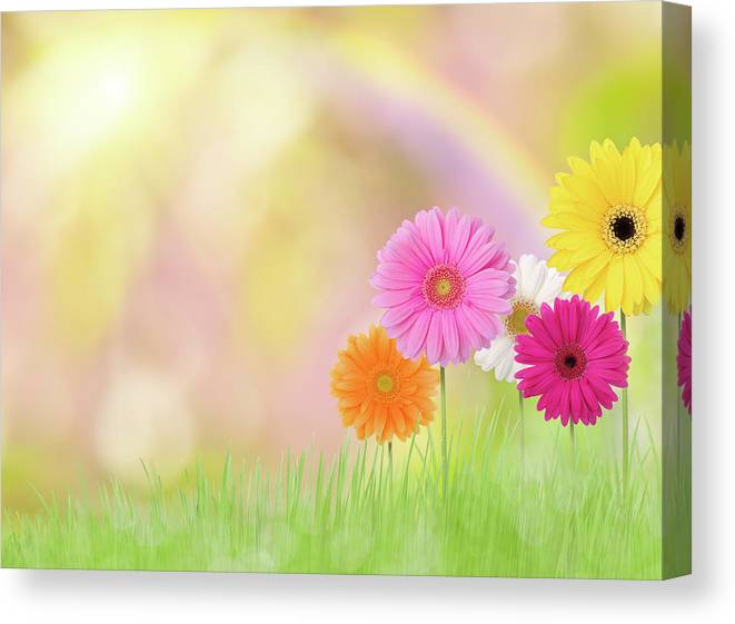 Grass Canvas Print featuring the photograph Gerbera Daisies In A Field With Rainbow by Liliboas