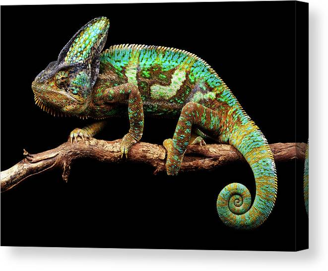Animal Themes Canvas Print featuring the photograph Nice And Slow by Markbridger