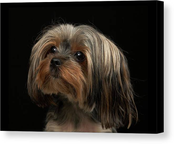 Pets Canvas Print featuring the photograph Sad Yorking Face Looking To The Left by M Photo