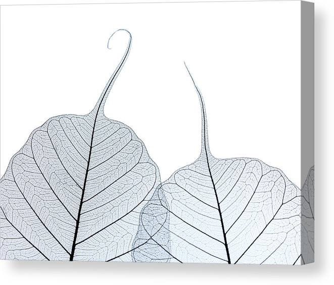 Tranquility Canvas Print featuring the photograph Two Leaf Skeletons by Peter Dazeley