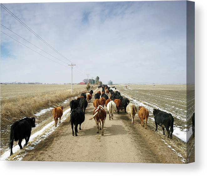 Cattle Drive Canvas Print featuring the photograph Usa, Nebraska, Great Plains, Herd Of by John Kelly