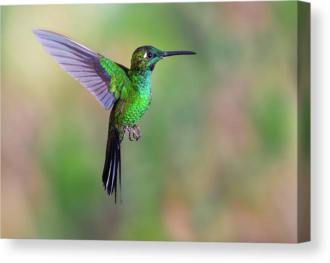 Green-crowned Brilliant Canvas Print featuring the photograph Hummingbird , Green-crowned Brilliant by Kencanning