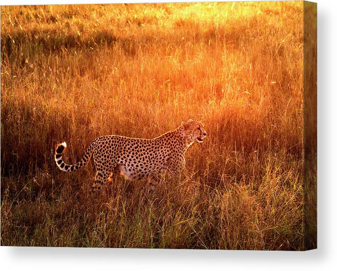 Scenics Canvas Print featuring the photograph Cheetah In The Grass At Sunrise by Mike Hill
