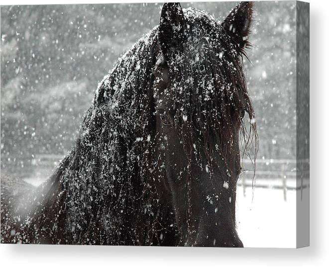 Horses Canvas Print featuring the photograph Friesian Snow by Fran J Scott