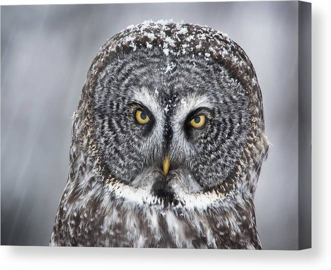 Nis Canvas Print featuring the photograph Great Gray Owl Scowl Minnesota by Benjamin Olson
