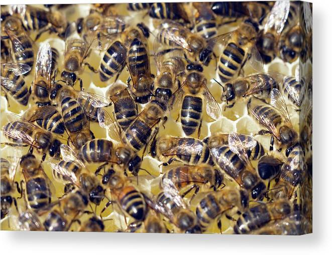Apis Mellifera Canvas Print featuring the photograph Honeybees On Honeycomb by Simon Fraser/science Photo Library