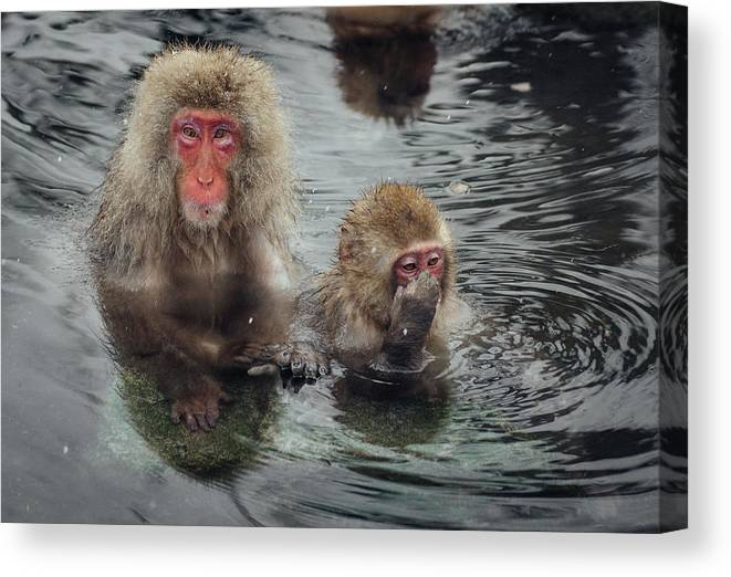 Animal Themes Canvas Print featuring the photograph Japanese Snow Monkeys Enjoying The Hot by Photography By Martin Irwin