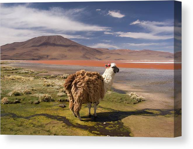 Scenics Canvas Print featuring the photograph Laguna Colorado Lake With Llama by John Elk