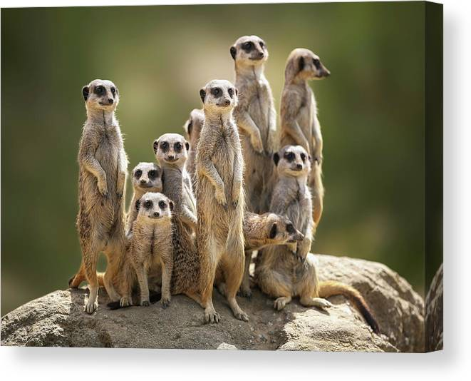 Scenics Canvas Print featuring the photograph Meerkat Family On Lookout by Kristianbell