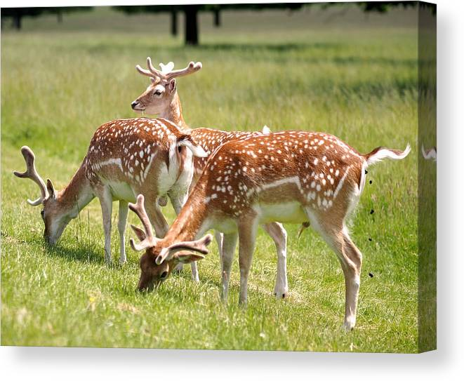 Multitasking Deer In Richmond Park Canvas Print Canvas Art By Rona Black