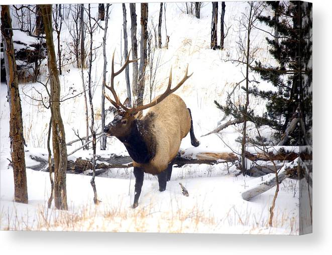 Elk Canvas Print featuring the photograph On the Move by Mike Dawson