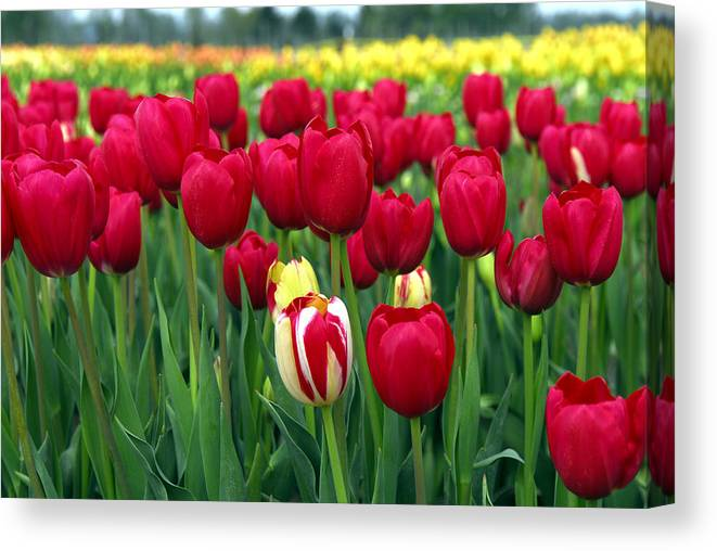 Tulip Canvas Print featuring the photograph Pacific Northwest Tulips 2 by Keith Gondron
