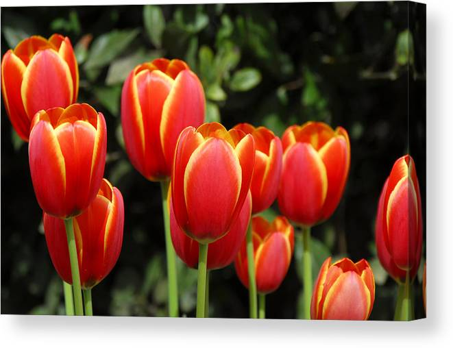 Pacific Canvas Print featuring the photograph Pacific Northwest Tulips 6 by Keith Gondron