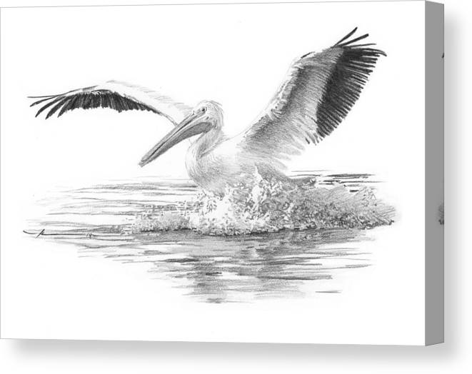 <a Href=http://miketheuer.com Target =_blank>www.miketheuer.com</a> Canvas Print featuring the drawing White Pelican Pencil Portrait by Mike Theuer