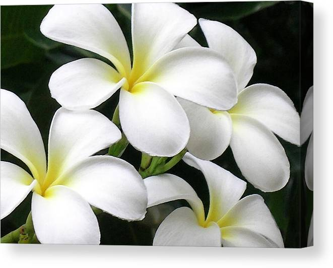 Hawaii Iphone Cases Canvas Print featuring the photograph White Plumeria by James Temple