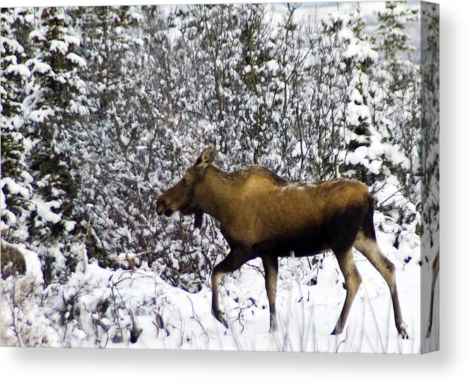 Alaska Canvas Print featuring the photograph Gotta Run by Jim and Kim Shivers