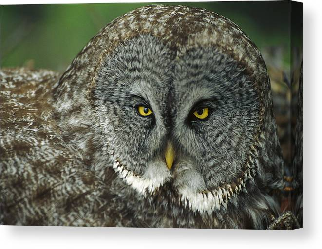 Mp Canvas Print featuring the photograph Great Gray Owl Strix Nebulosa Portrait by Michael Quinton