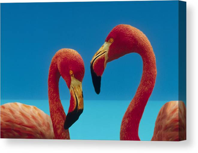 00172310 Canvas Print featuring the photograph Greater Flamingo Courting Pair by Tim Fitzharris