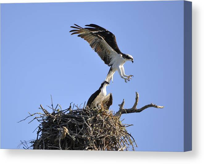Osprey Canvas Print featuring the photograph Osprey Coming in for a Landing by Christine Stonebridge