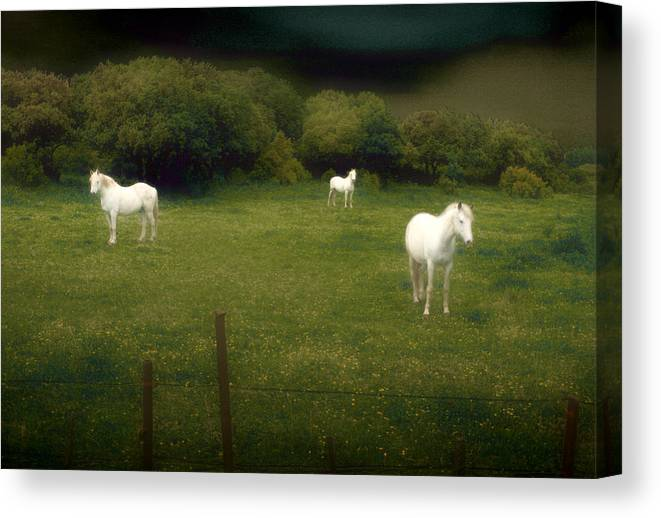 Horses Canvas Print featuring the photograph Three White Horses by Jim Painter