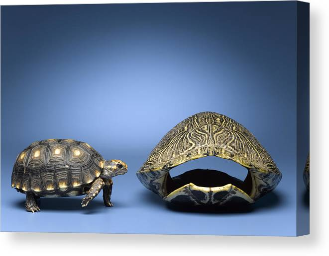 Horizontal Canvas Print featuring the photograph Turtle Looking At Larger, Empty Shell by Jeffrey Hamilton