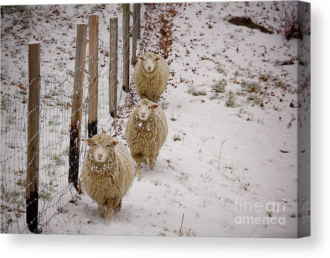 Sheep Canvas Print featuring the photograph 3 Happy Sheep by Diana Nault