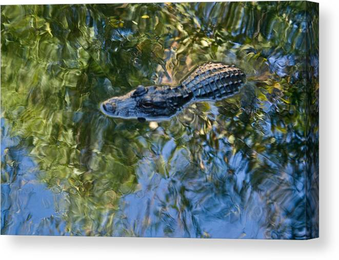 Alligator Canvas Print featuring the photograph Alligator stalking by Douglas Barnett
