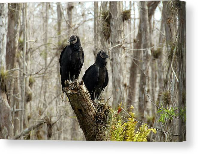 Black Vultures Canvas Print featuring the photograph Black Vultures by David Lee Thompson
