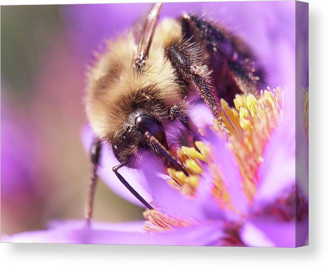 Aster Canvas Print featuring the photograph Bumble Bee on Aster by Jim Hughes
