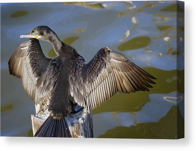 Neotropic Cormorant Canvas Print featuring the photograph Cormorant looking back by Robert Brown