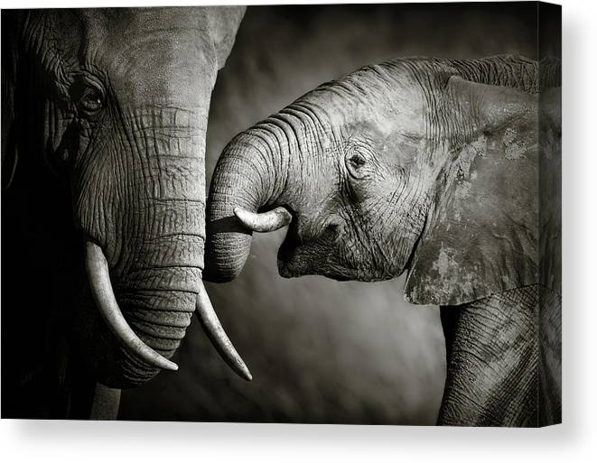 Elephant; Interact; Touch; Gently; Trunk; Young; Large; Small; Big; Tusk; Together; Togetherness; Passionate; Affectionate; Behavior; Art; Artistic; Black; White; B&w; Monochrome; Image; African; Animal; Wildlife; Wild; Mammal; Animal; Two; Moody; Outdoor; Nature; Africa; Nobody; Photograph; Addo; National; Park; Loxodonta; Africana; Muddy; Caring; Passion; Affection; Show; Display; Reach Canvas Print featuring the photograph Elephant affection by Johan Swanepoel