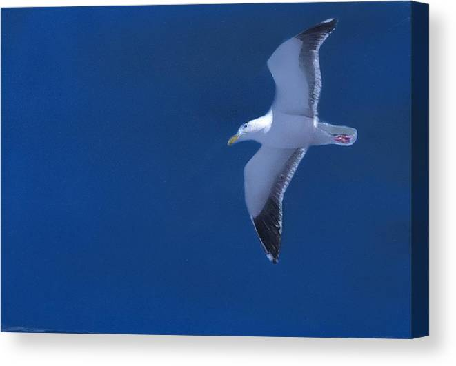 Gull Canvas Print featuring the painting Gull by Charles Parks
