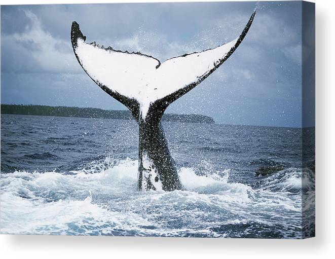 Mp Canvas Print featuring the photograph Humpback Whale Tail Tonga by Mike Parry