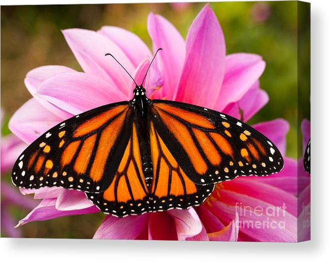 Augustin Canvas Print featuring the photograph Monarch and Dahlia by Steve Augustin