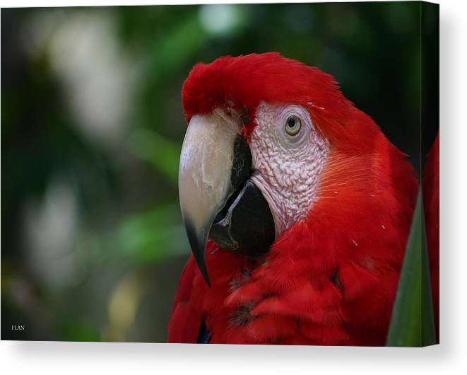 Bird Canvas Print featuring the photograph Old Red Parrot by Ruben Flanagan