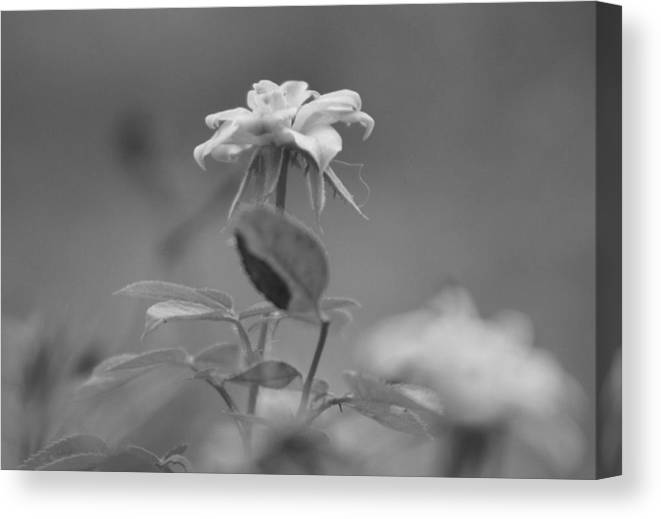Miniature Rose Canvas Print featuring the photograph Reach Black and White Photograph of a Miniature Rose by Colleen Cornelius