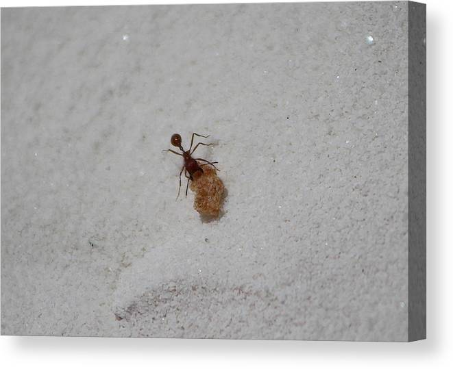 New Mexico Canvas Print featuring the photograph Red Ant with Cornflake by Colleen Cornelius