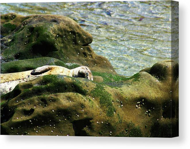 Seal Canvas Print featuring the photograph Seal On The Rocks by Anthony Jones