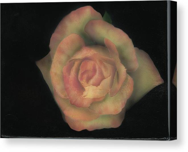 Rose Canvas Print featuring the painting Yello Rose by Charles Parks