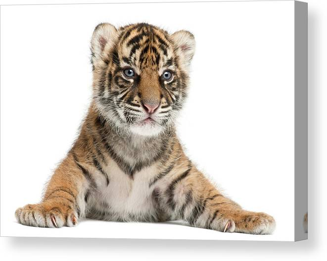 White Background Canvas Print featuring the photograph Sumatran Tiger Cub - Panthera Tigris by Life On White