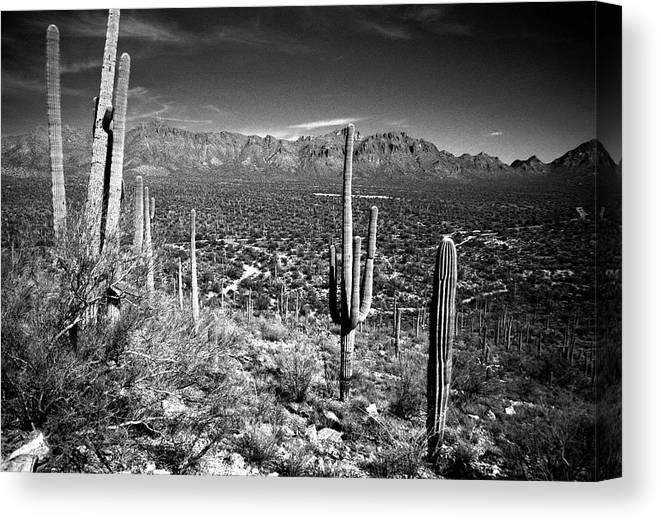 Saguaro Cactus Canvas Print featuring the photograph Arizona, Tucson, Saguaro Np, Brown by James Denk