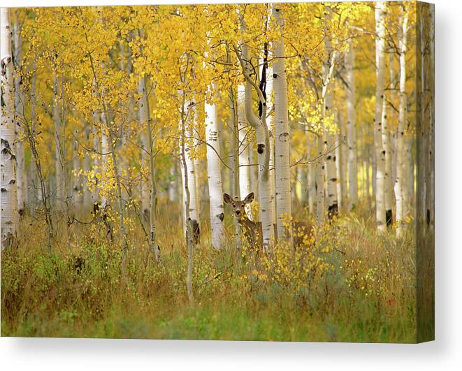 Vertebrate Canvas Print featuring the photograph Autumn In Uinta National Forest. A Deer by Mint Images - David Schultz