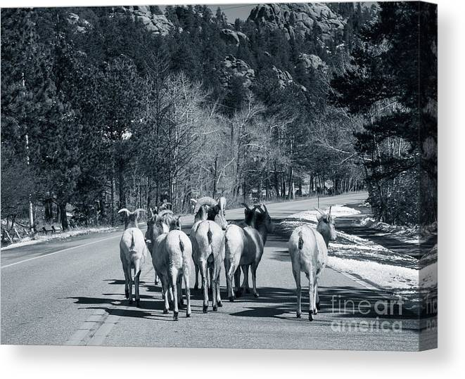 Domestic Animals Canvas Print featuring the photograph Bighorn Sheep Ovis Canadensis Walking by Clay Alchemist