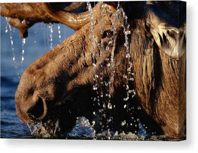 Male Animal Canvas Print featuring the photograph Close-up Of Bull Moose Alces Alces With by Eastcott Momatiuk