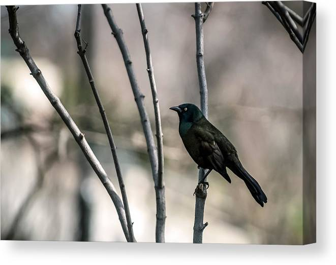 Animal Themes Canvas Print featuring the photograph Common Grackle by By Ken Ilio